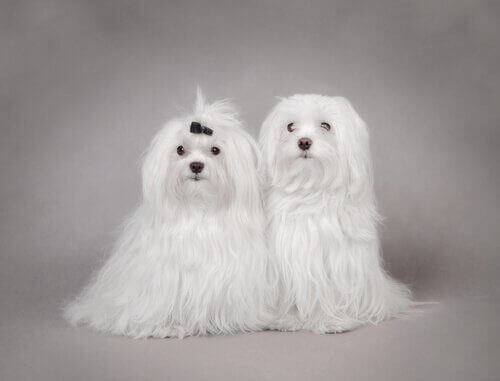 terriyer köpekler
