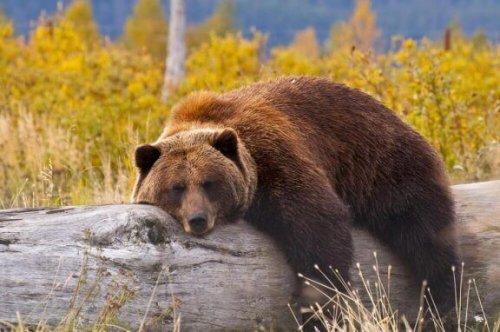 devrilmiş ağacın üstünde uyuyan ayı ve bozayı