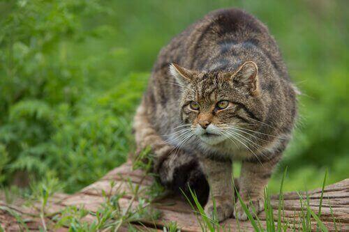 çalıların içinde kedi