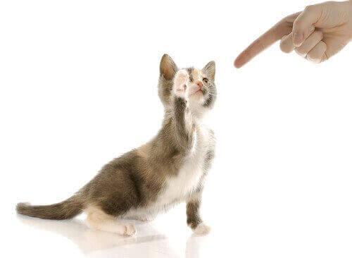 parmak ile oynayan yavru kedi