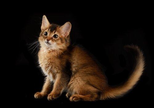 yavru somali kedisi