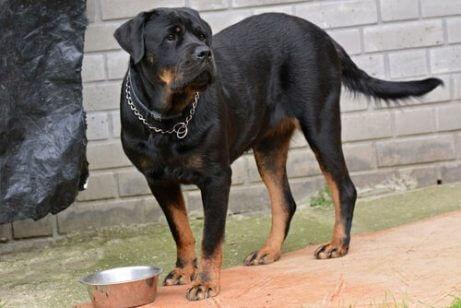 zincirli tasması olan köpek