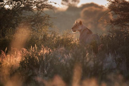 namibya çöl aslanı