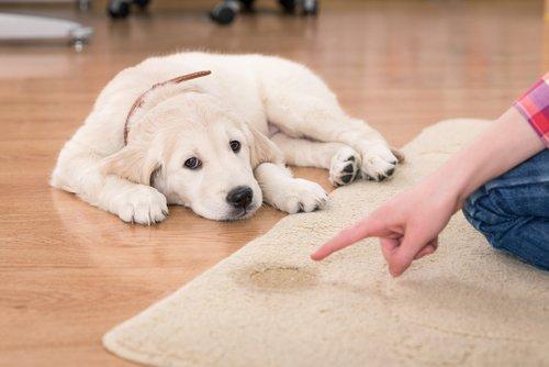 halıya işemiş golden köpek