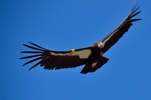 Kaliforniya akbabası uçuyor