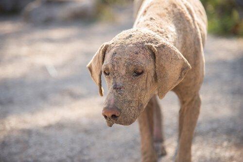 Köpeklerde Uyuz: Tespit Edilmesi ve Tedavisi