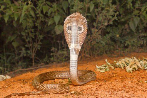 gözlüklü gibi görünen adi kobra