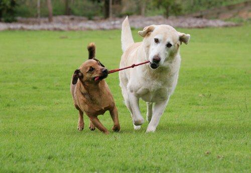 birlikte oynayan büyük ve küçük köpek