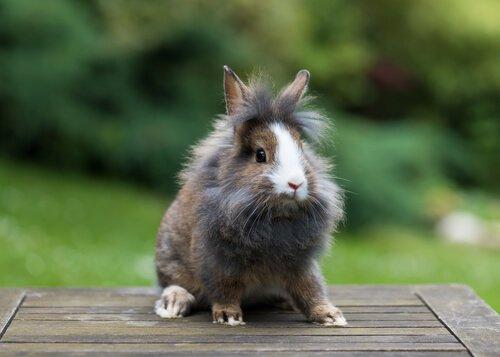 Aslanbaş Tavşanı Hakkında Bilmeniz Gerekenler