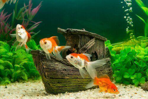 Yeni Balığınızı Akvaryum ile Tanıştırmak için İpuçları