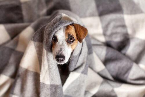 battaniyeye sarılı köpek