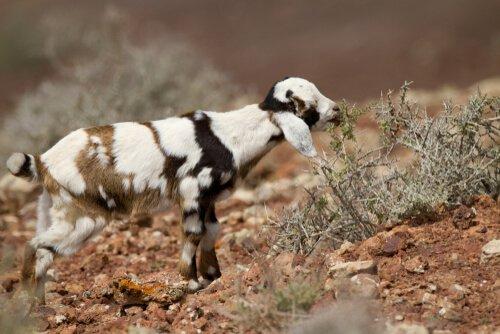 Fuerteventura Keçileri ve Mükemmel Majorero Peyniri