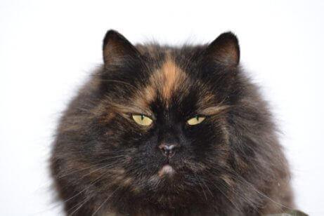 siyah ve turuncu renkli kedi