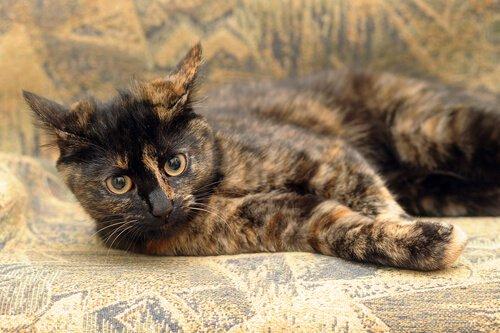 Calico Kedisi Hakkında Her Şey