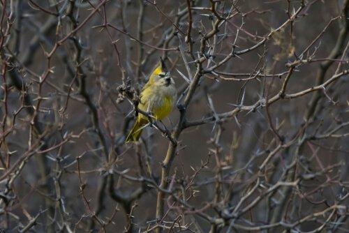 sarı kardinal