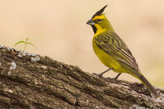 Sarı Kardinal: Tatlı ve Ahenkli Şarkıcı