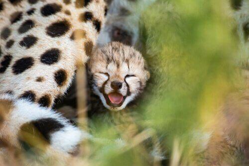 Çita Koruma ve Genetik Özellikleri