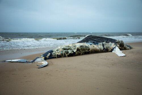 kıyıya vurmuş balina