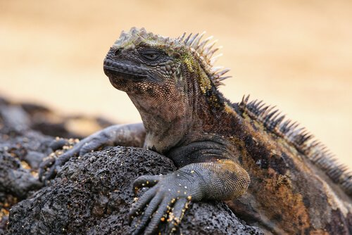 Deniz İguanası: Galapagos'un Hakimi