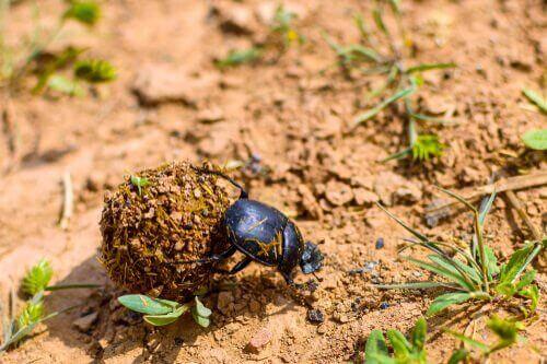 Bok Böceği: Gübrelerin Kralı
