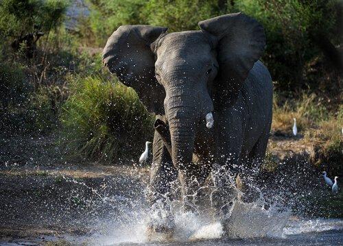 Fillerde Kızgınlık Dönemi Hakkında Bilgiler