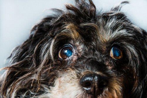 Köpeklerde Glokom: Belirtileri ve Tedavisi