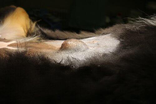 köpeklerde göbek fıtığı