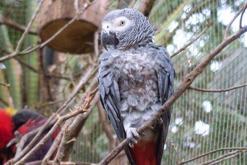 Gri Papağan: Bilmeniz Gerekenler