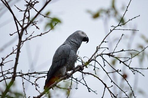 dalda bekleyen gri papağan