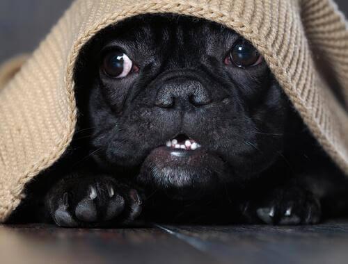 Gürültü Fobisi: Köpeğinize Yardımcı Olacak İpuçları