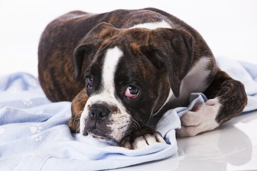 Bulaşıcı Tümörler: Köpeklerde olan bir şey mi?