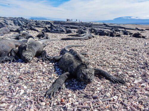 sahilde güneşlenen deniz iguanası