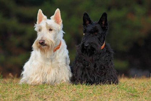Seveceğiniz Dört İskoç Köpek Irkı