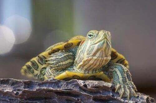 Kaplumbağalarda Rinit Hastalığı ve Tedavisi