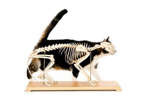 kedi iskeleti ve kayropraktik teknikler