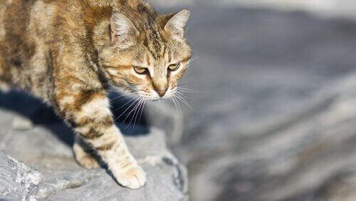 avlanan kedi