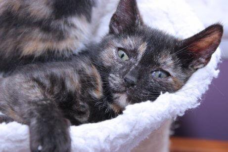 calico kedi