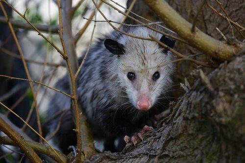 Opossum: Karakteri ve Davranış Şekli