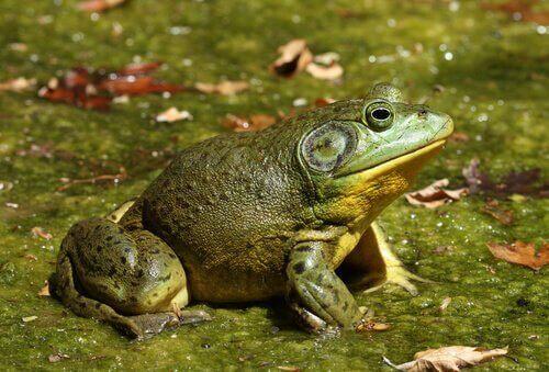 İstenmeyen İstilacı: Boğa Kurbağası