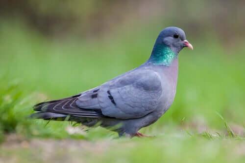kumru ve güvercinler