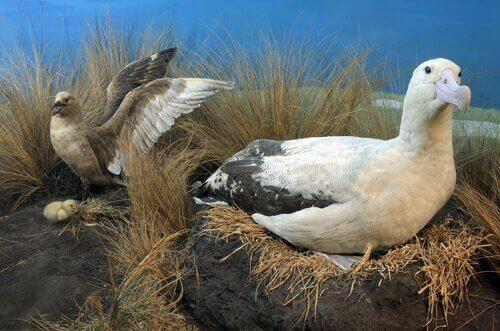 Kısa Kuyruklu Albatros Kuşlarının Son Durumları