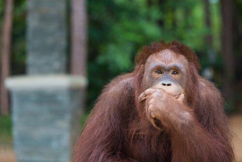 Zeki Hayvanlar: İlginç Orangutanlar Kancayı Yeniden İcat Etti