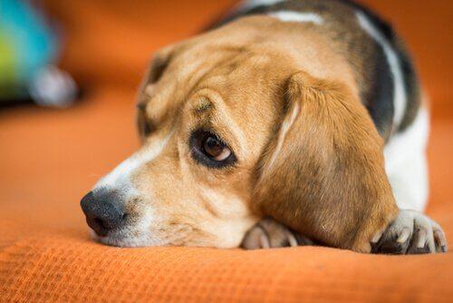Neden Köpeğinizin Enerjisi Eskisi Gibi Değil