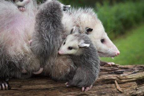 anne ve yavru opossum