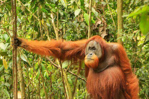 bekleyen orangutan