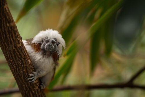 Pamuk Tepeli İpek Maymun İle Tanışın