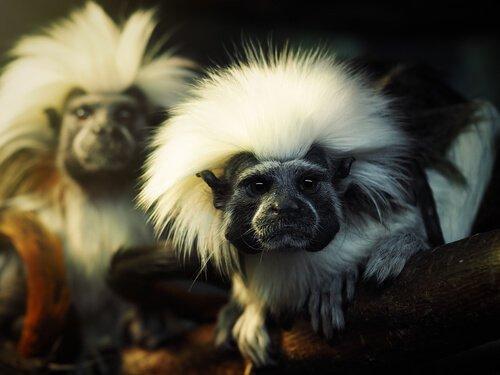 iki pamuk tepeli ipek maymun
