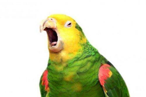Papağanlar Söyledikleri Kelimeleri Anlayabilir Mi?