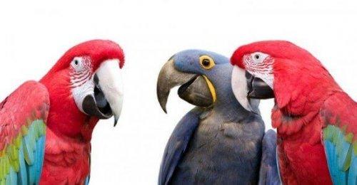 üç papağan ve konuşan papağanlar