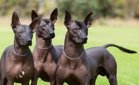 arjantin pila köpekleri